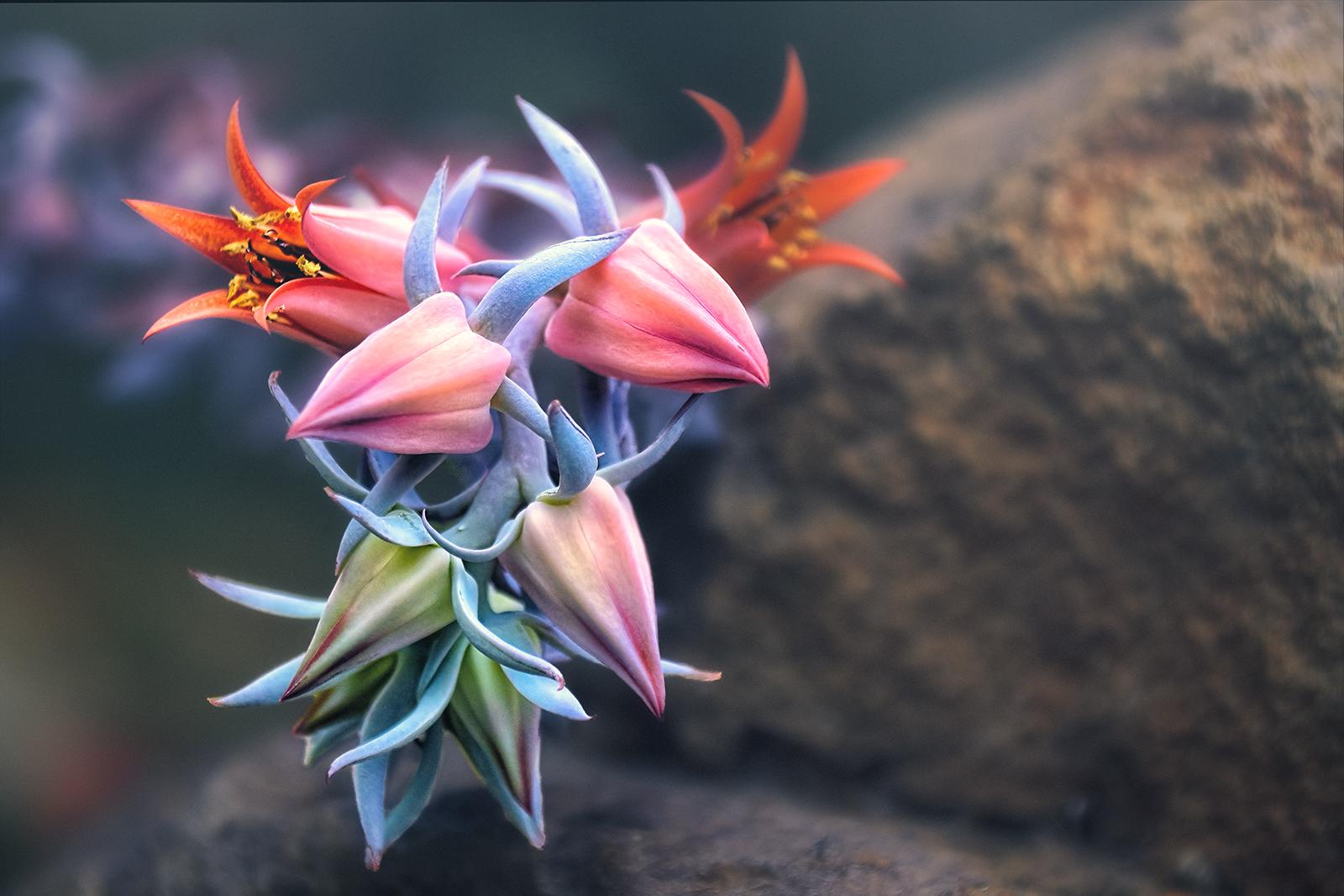 Flowers of Echeveria Succulent