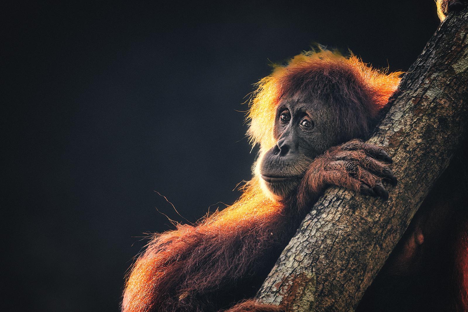 An Orangutan Gazes