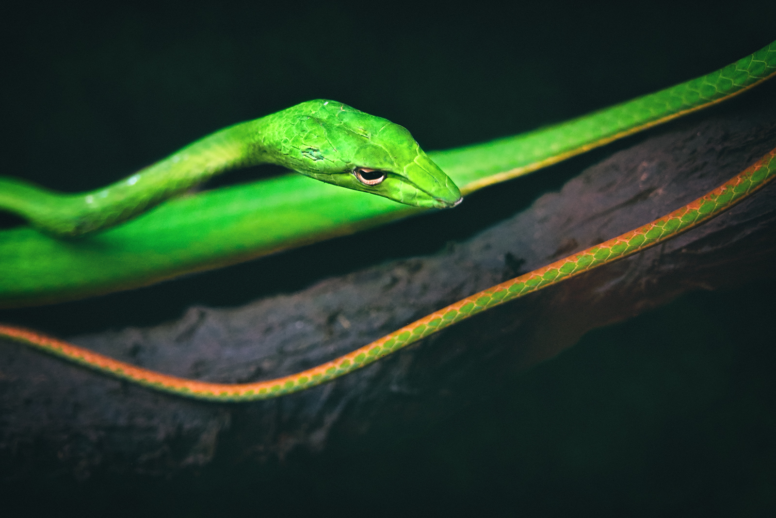 Closeup of a Long-nosed Tree Snake