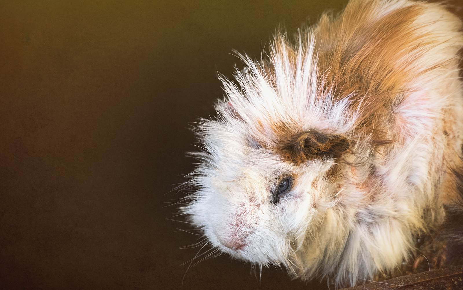Portrait of a Guinea Pig