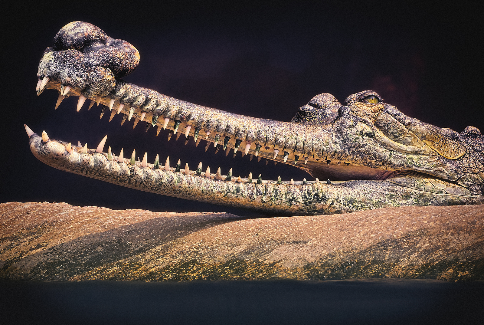Portrait of an Indian Gharial