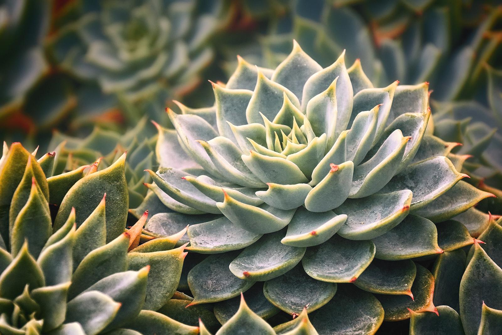 Closeup of a Jovibarba Heuffelii Succulent