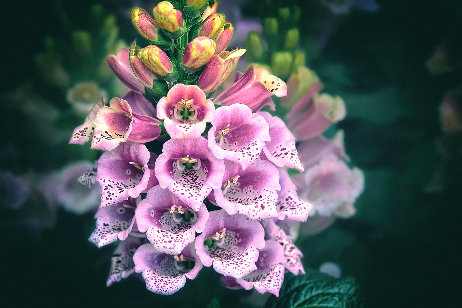 Magenta Foxgloves Flowers