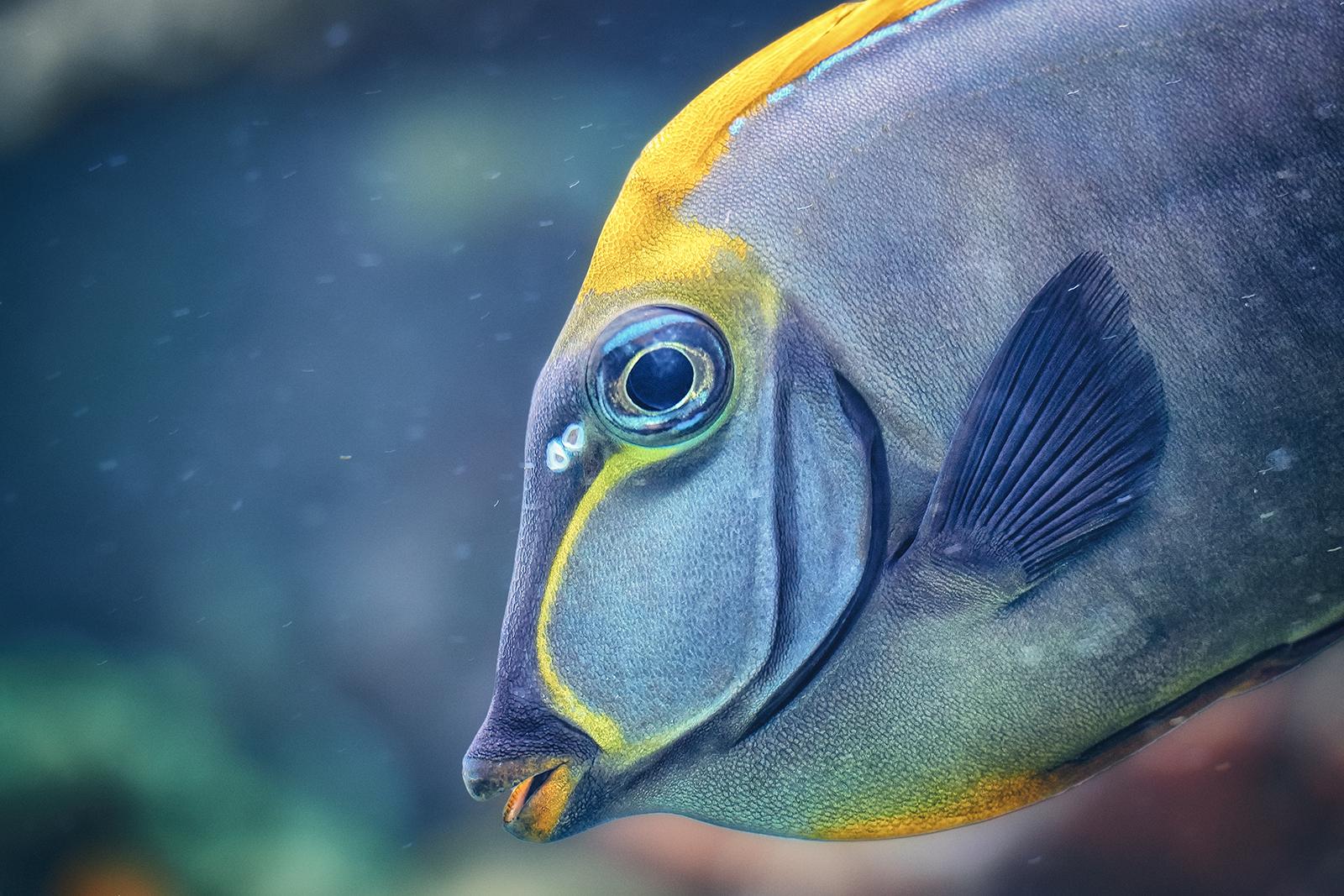 Naso Tang Fish