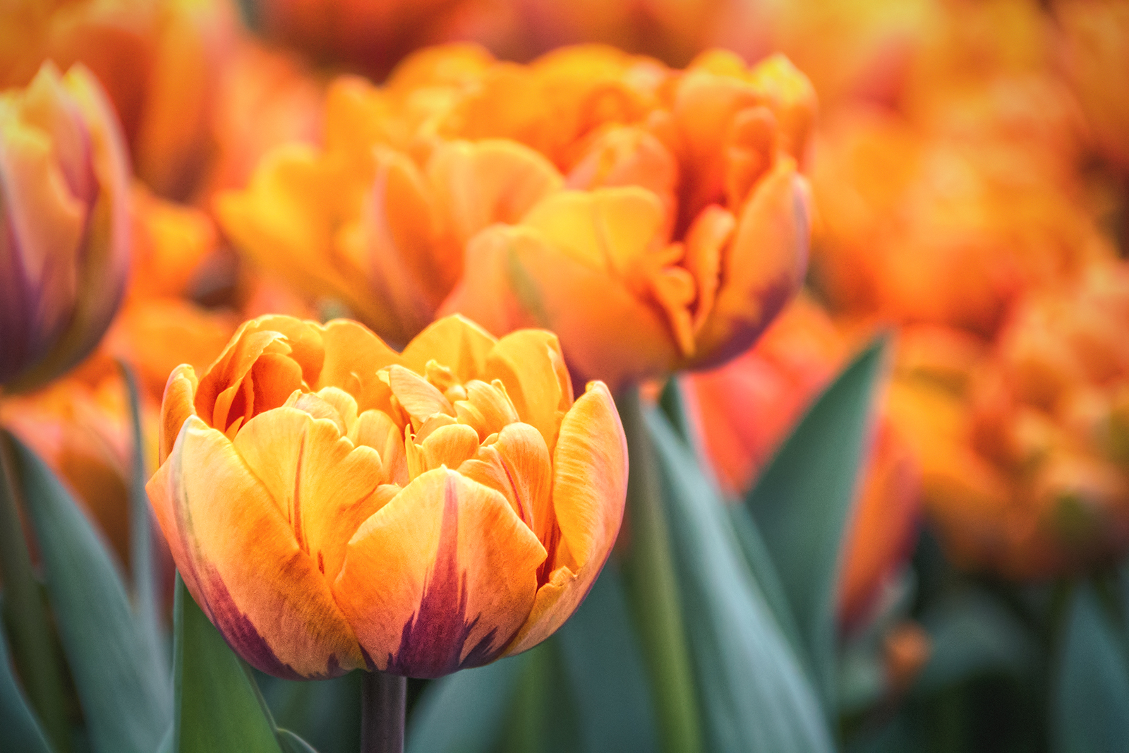 Orange Tulips Flowers