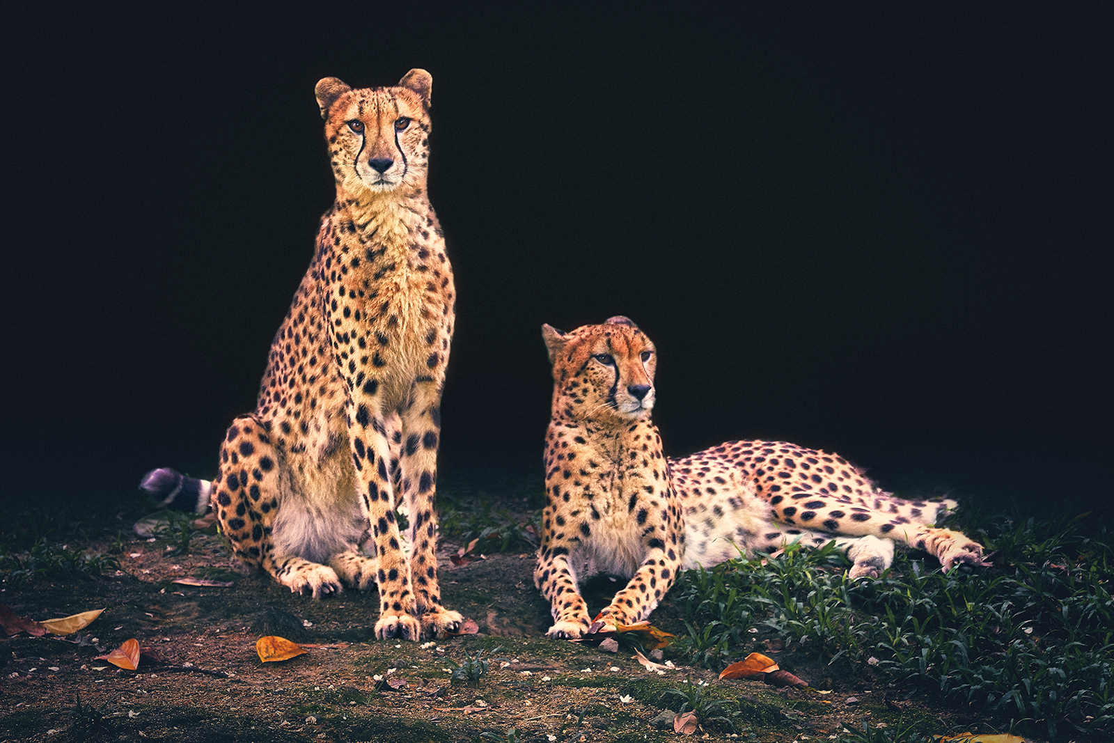 Portrait of a pair of Cheetahs