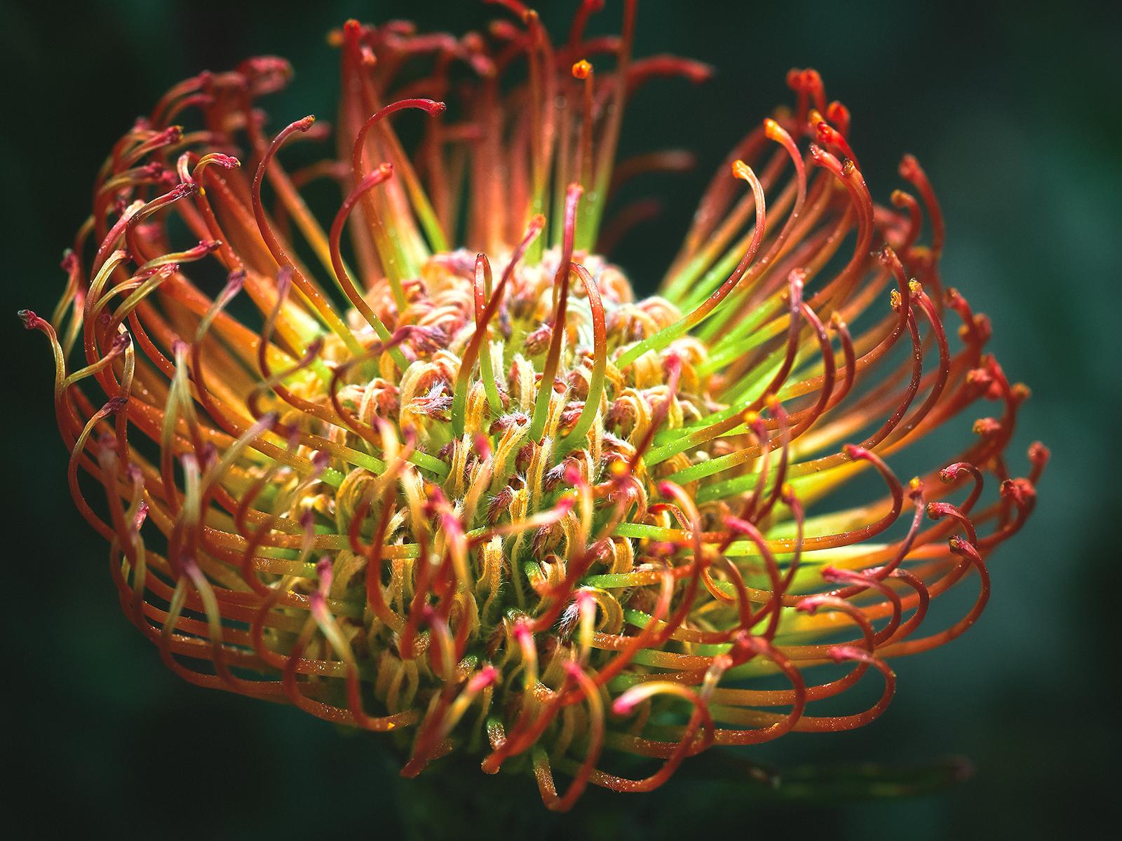 Red Pincushion Protea Flower