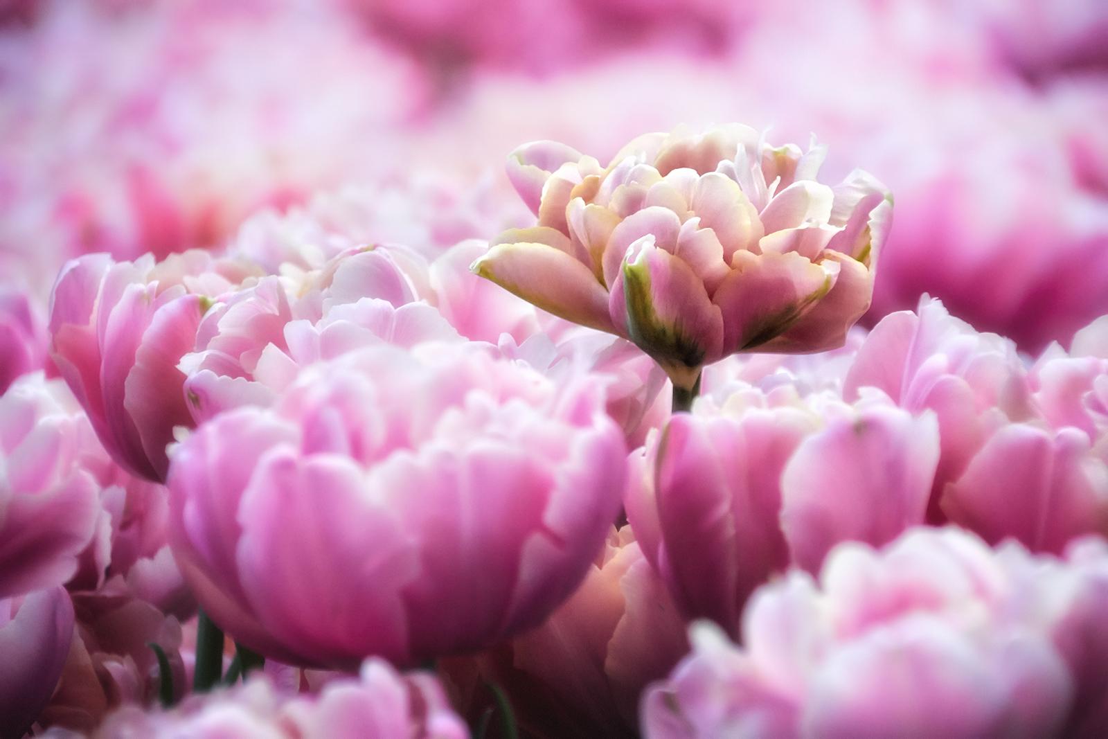 Closeup of Pink Tulips