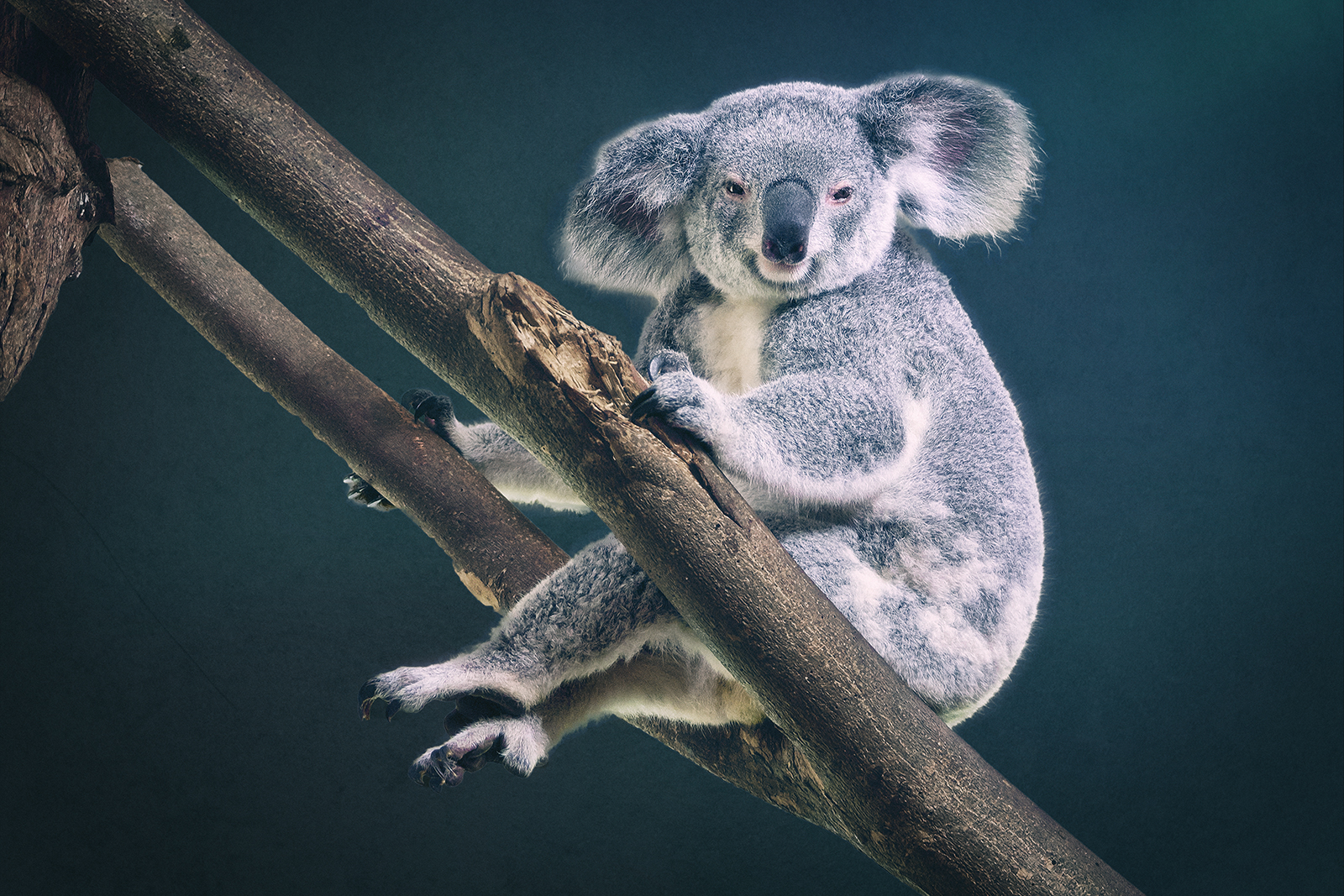 Portrait of a Koala