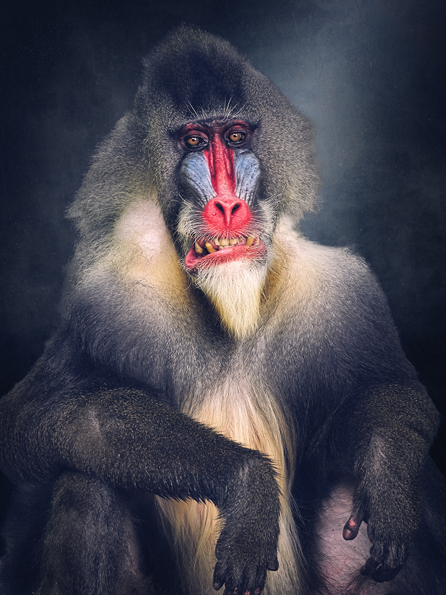 Mandrill Primate of the Old World Monkey