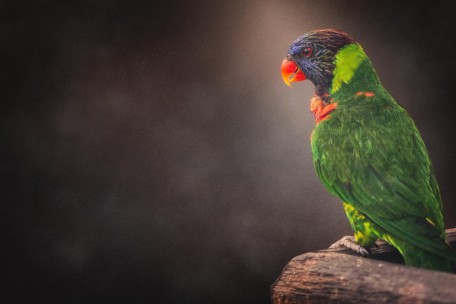 Rainbow Lorikeet Parrot Bird