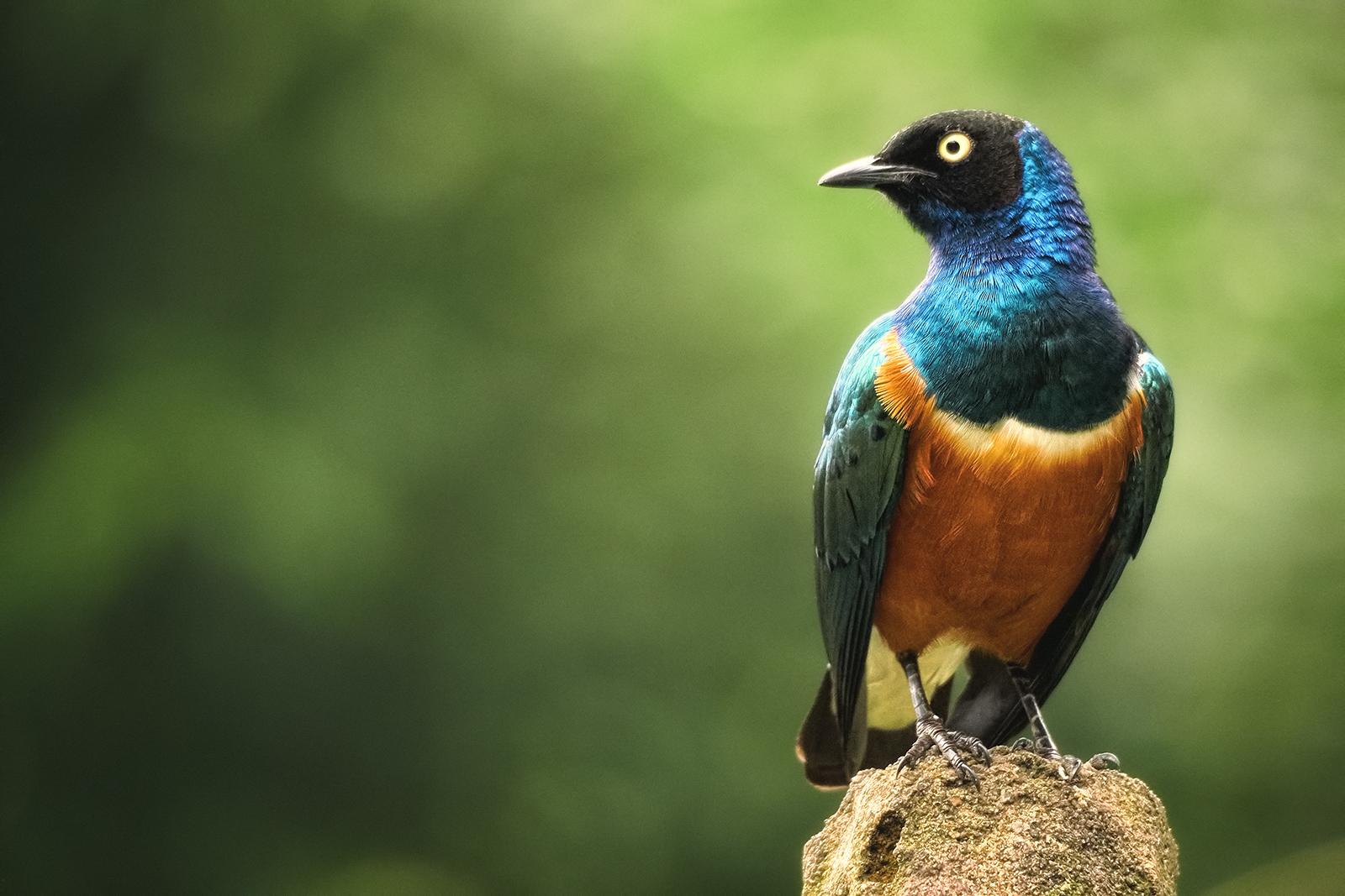 Closeup of a Superb Starling