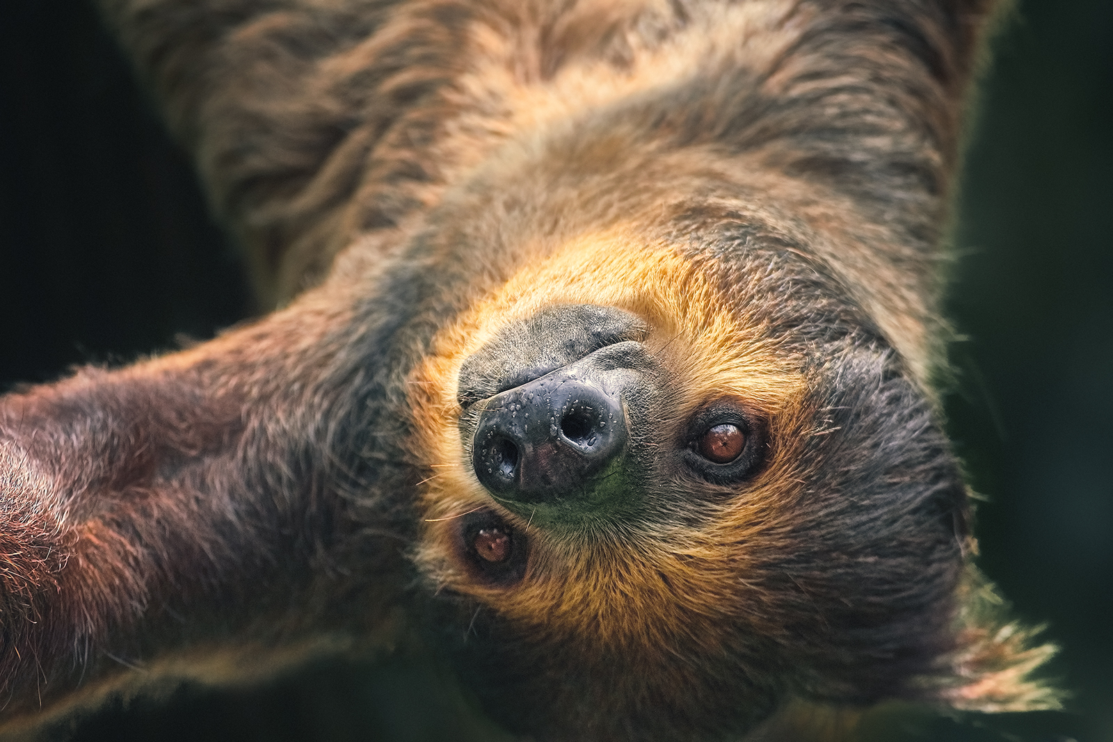 Closeup of a Two-toed Sloth