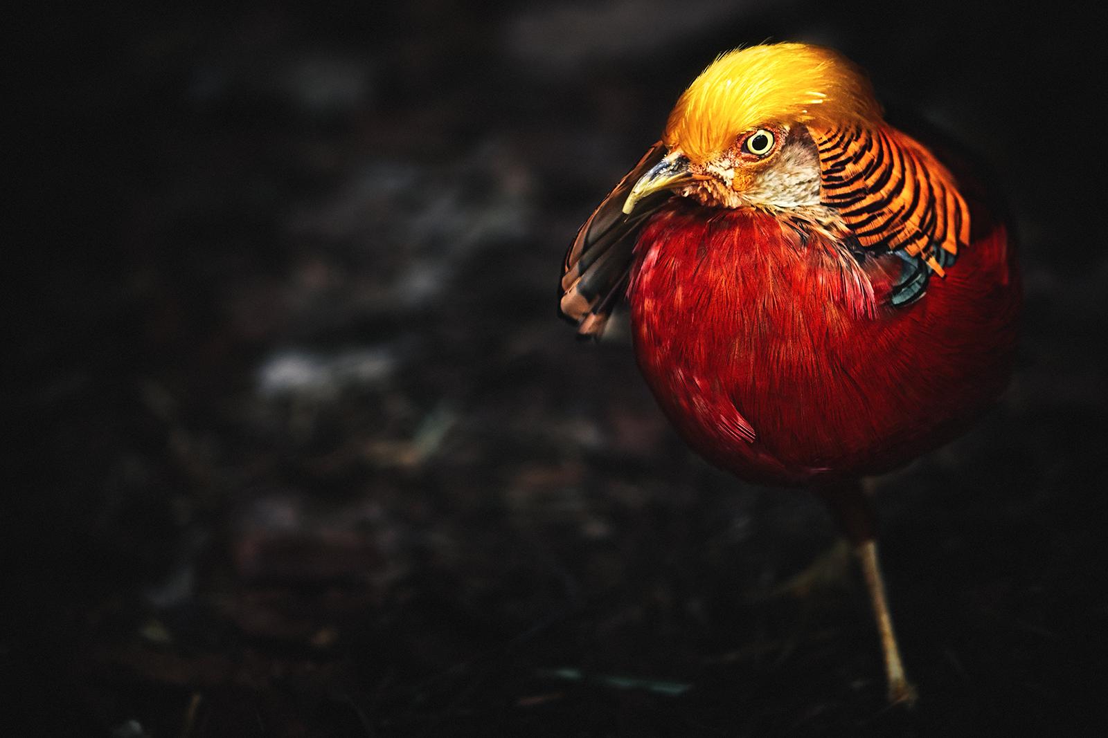 Closeup of a Golden Pheasant