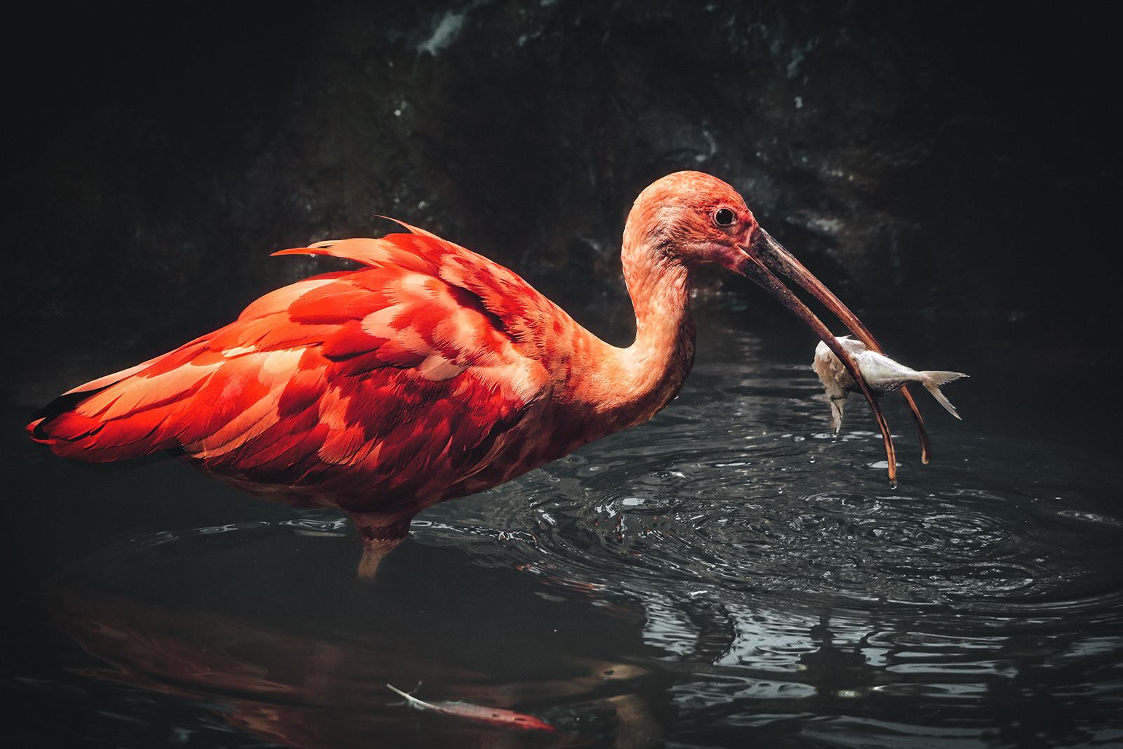 Scarlet Ibis Feeds