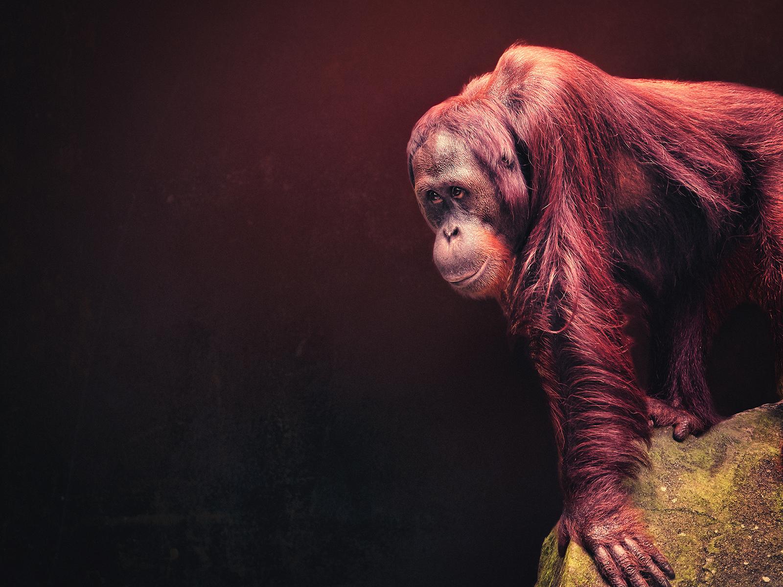 A Female Sumatran Orangutan