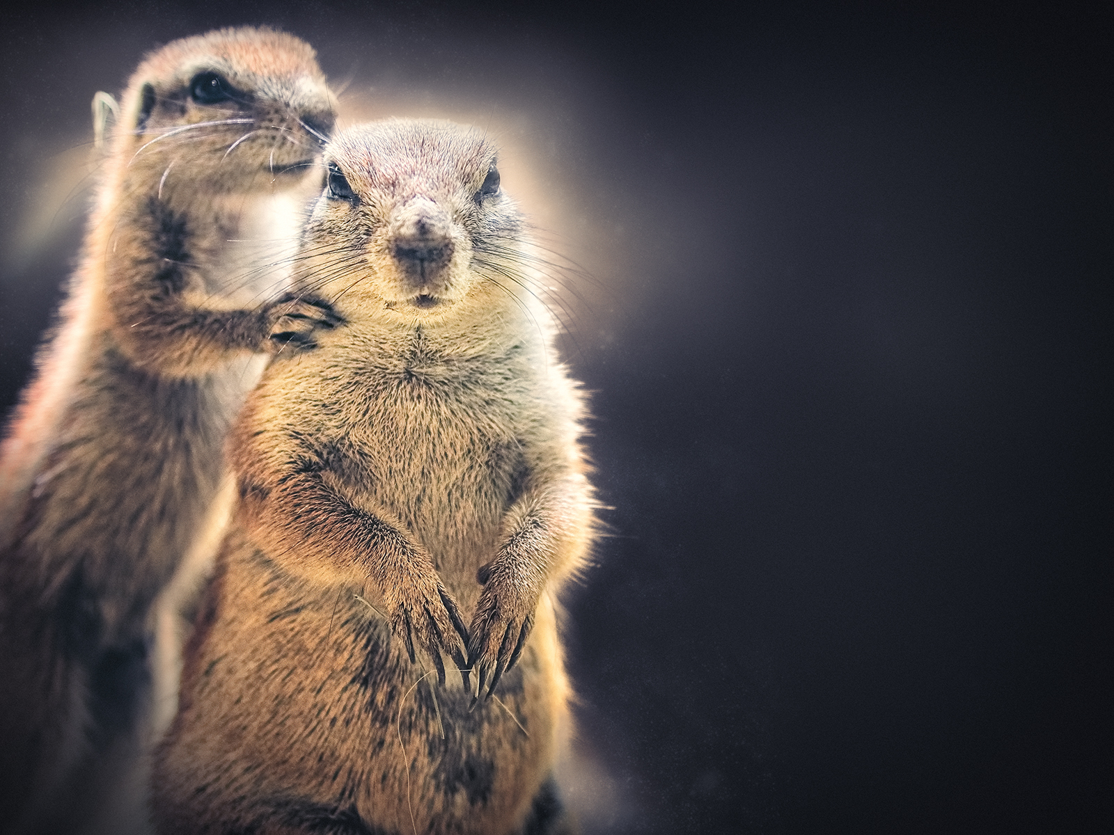 A Pair of Common Ground Squirrels