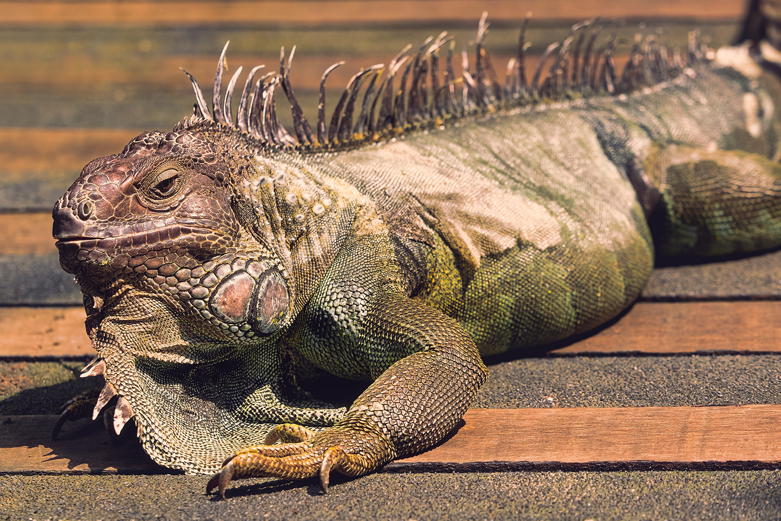 Closeup of a Green Iguana
