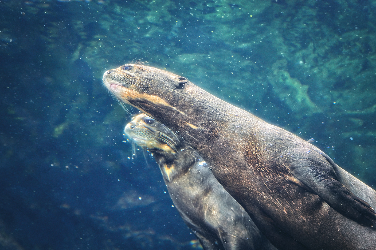 A pair of Giant River Otters swimming in the waters