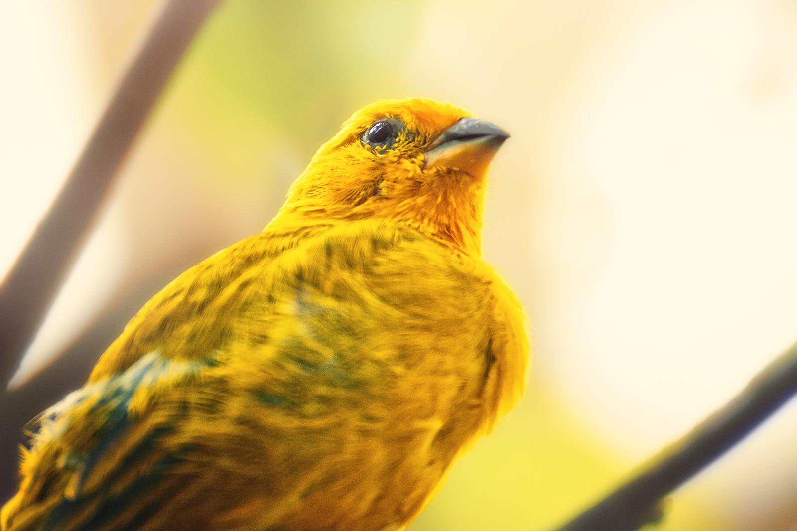 Portrait of a Saffron Finch