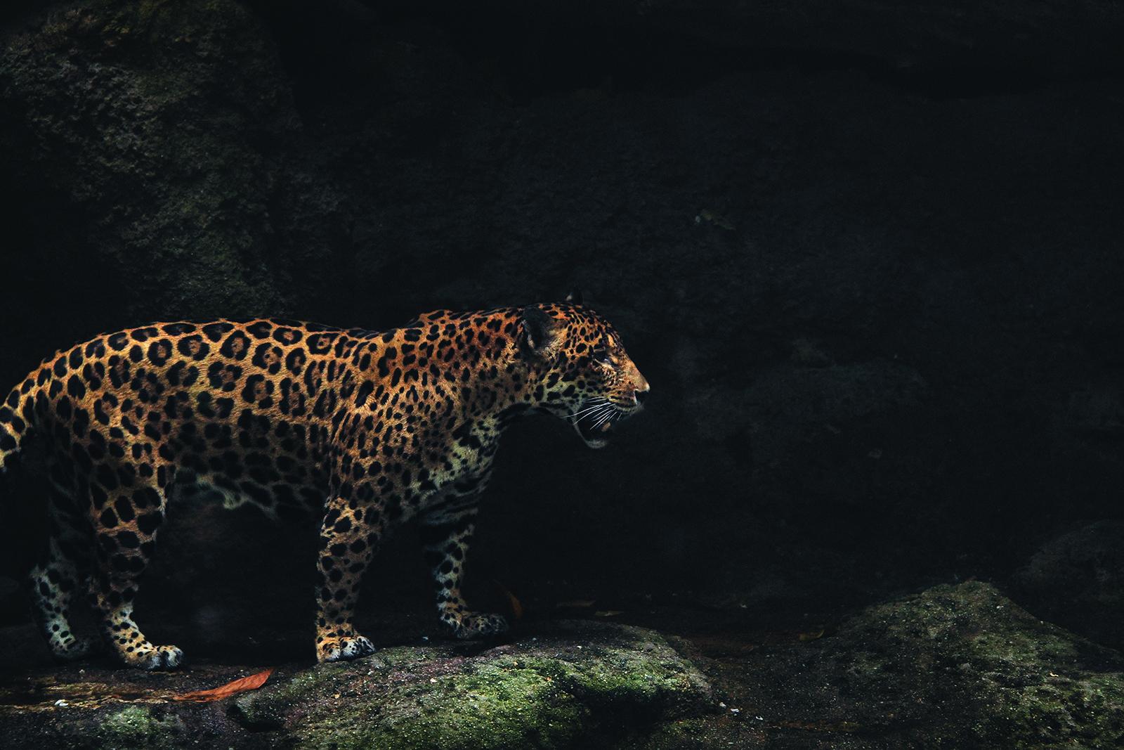 Jaguar Rosettes