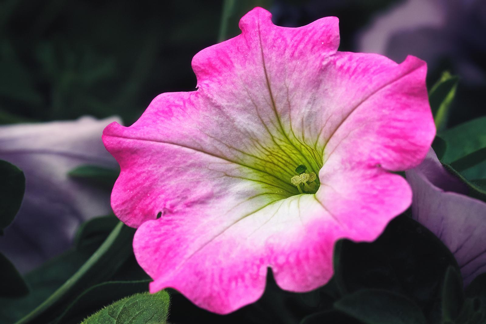 Portrait of a Pink Flower