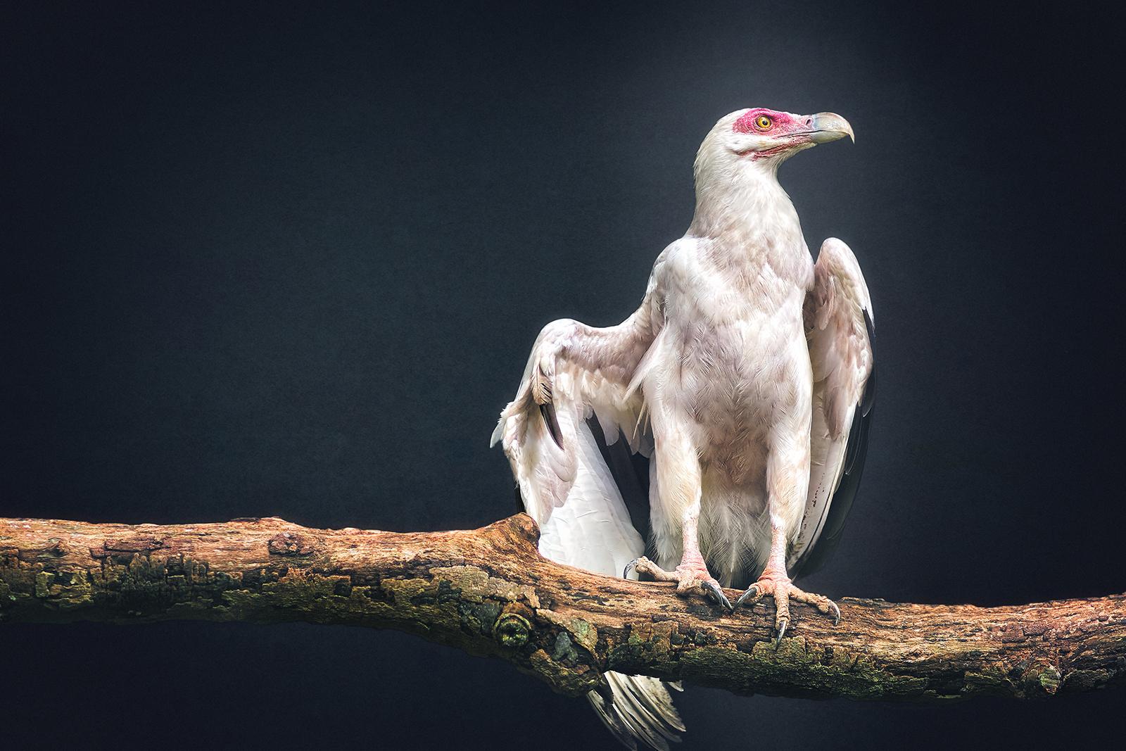 Portrait of a Palm-nut Vulture