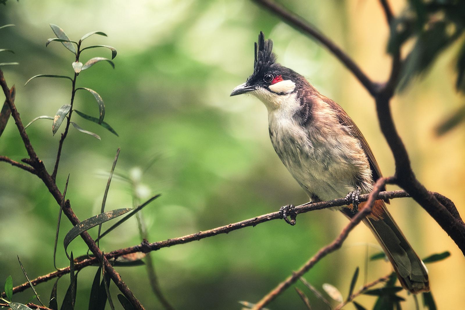 Red Whiskered Bulbul Bird