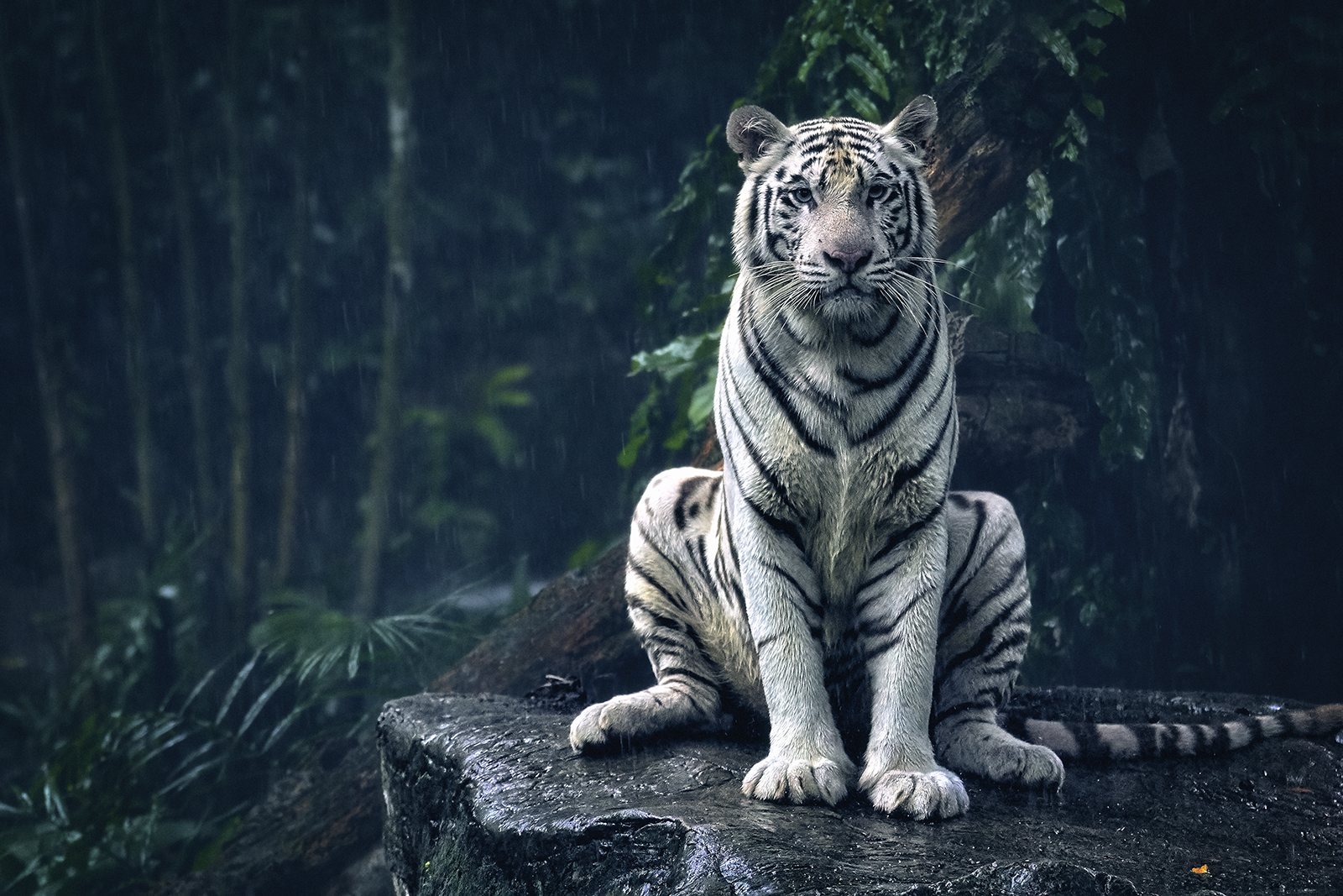 White Tiger Sits on a Rock