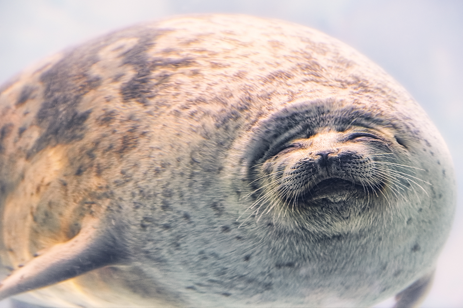 Smiling Ringed Seal