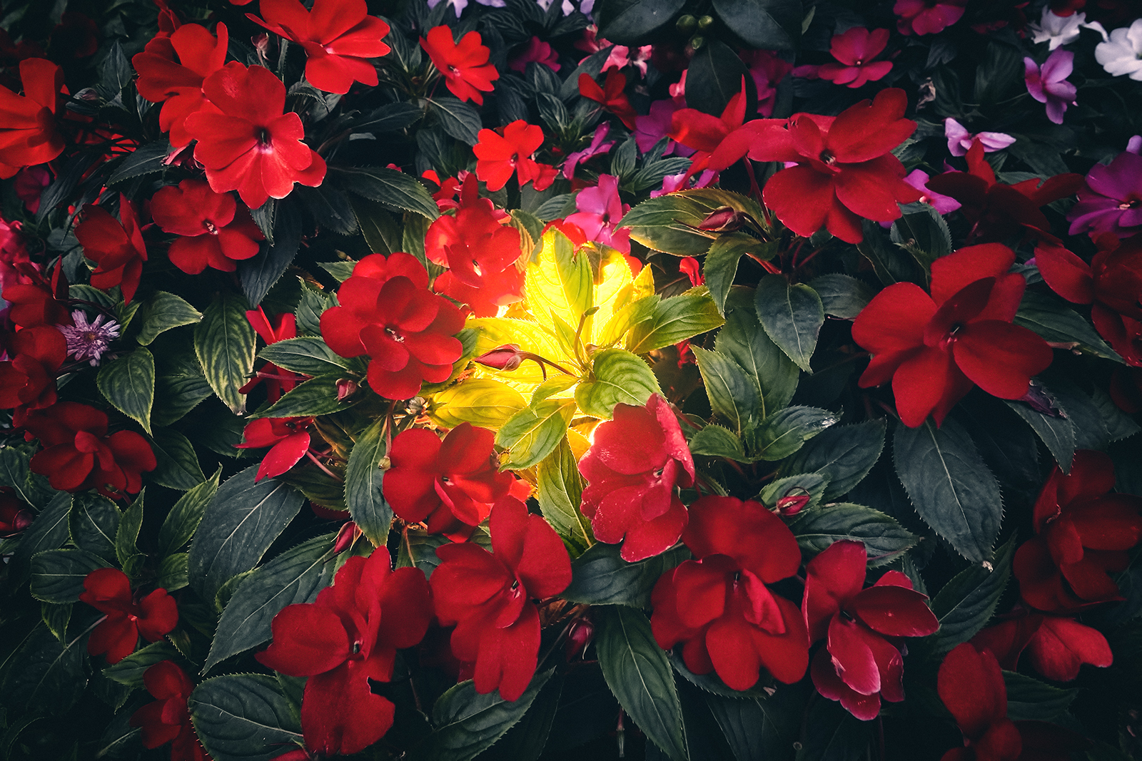 Impatiens Flowers and Buds
