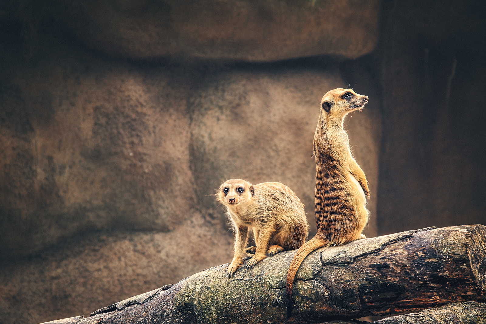 Portrait of a pair of Meerkats