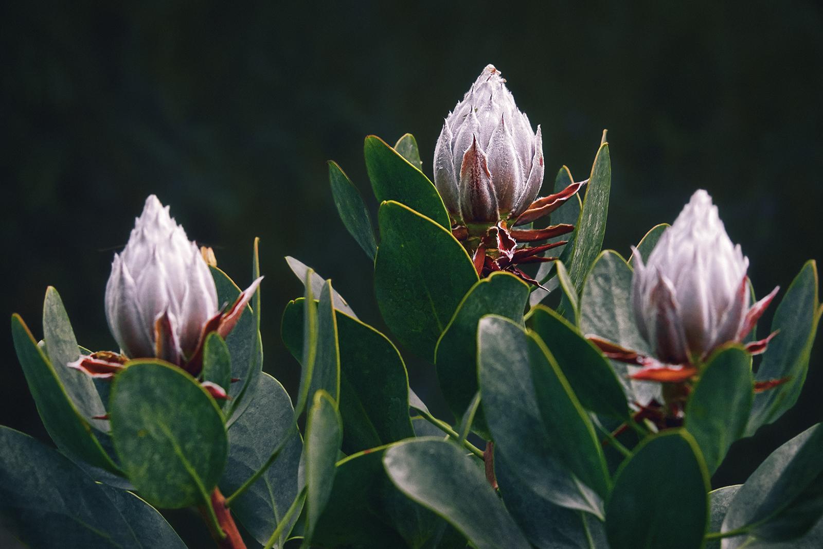 Closeup of three Succulent Flowers