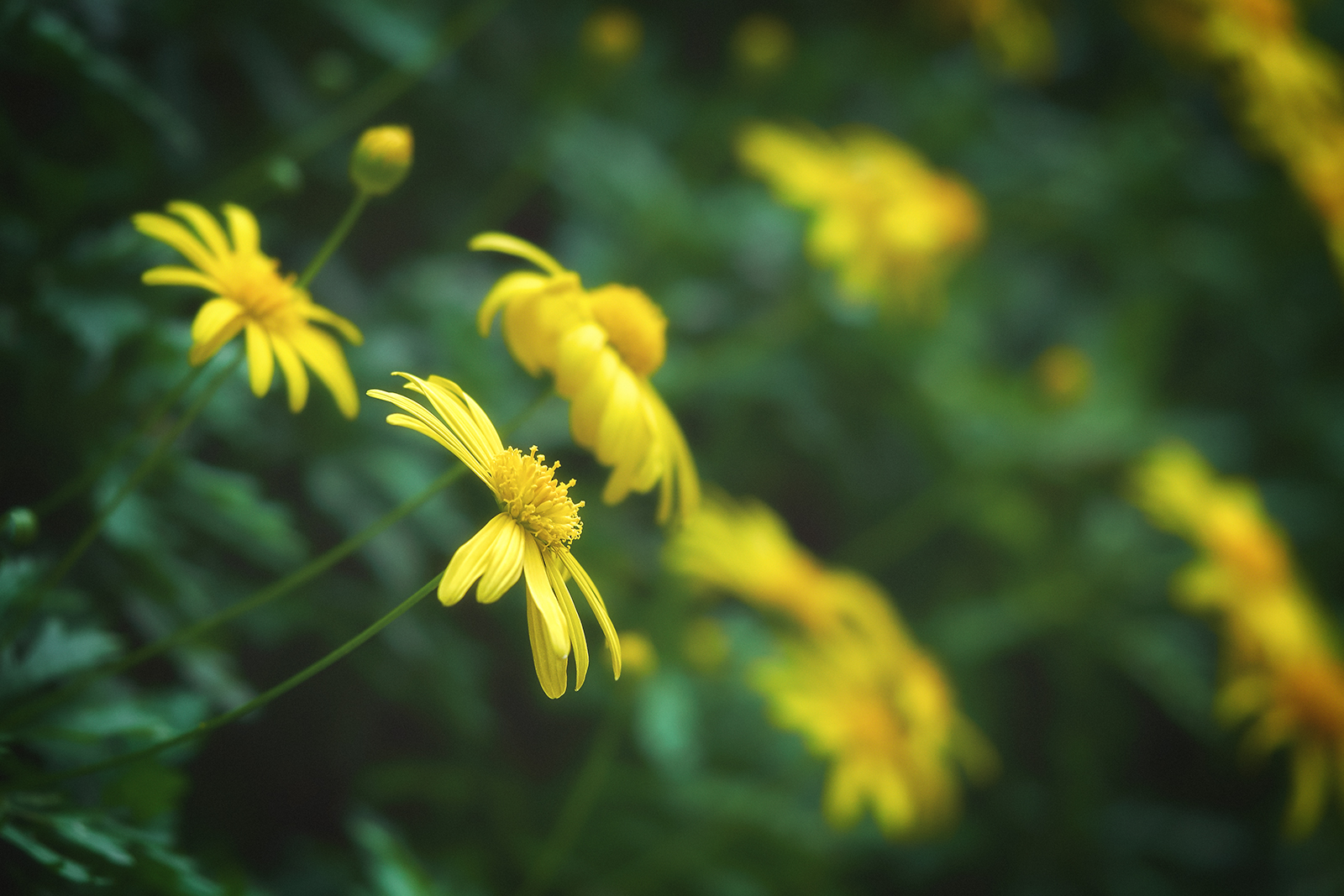 Yellow Daisies Blooming