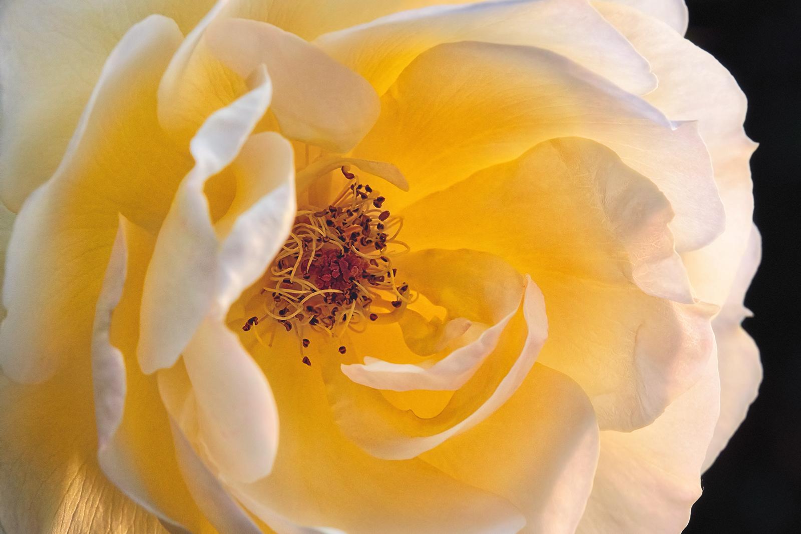 Closeup of a Yellow Submarine Rose