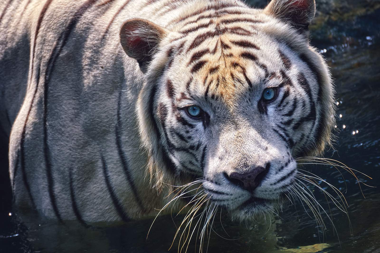 Closeup of a White Tiger