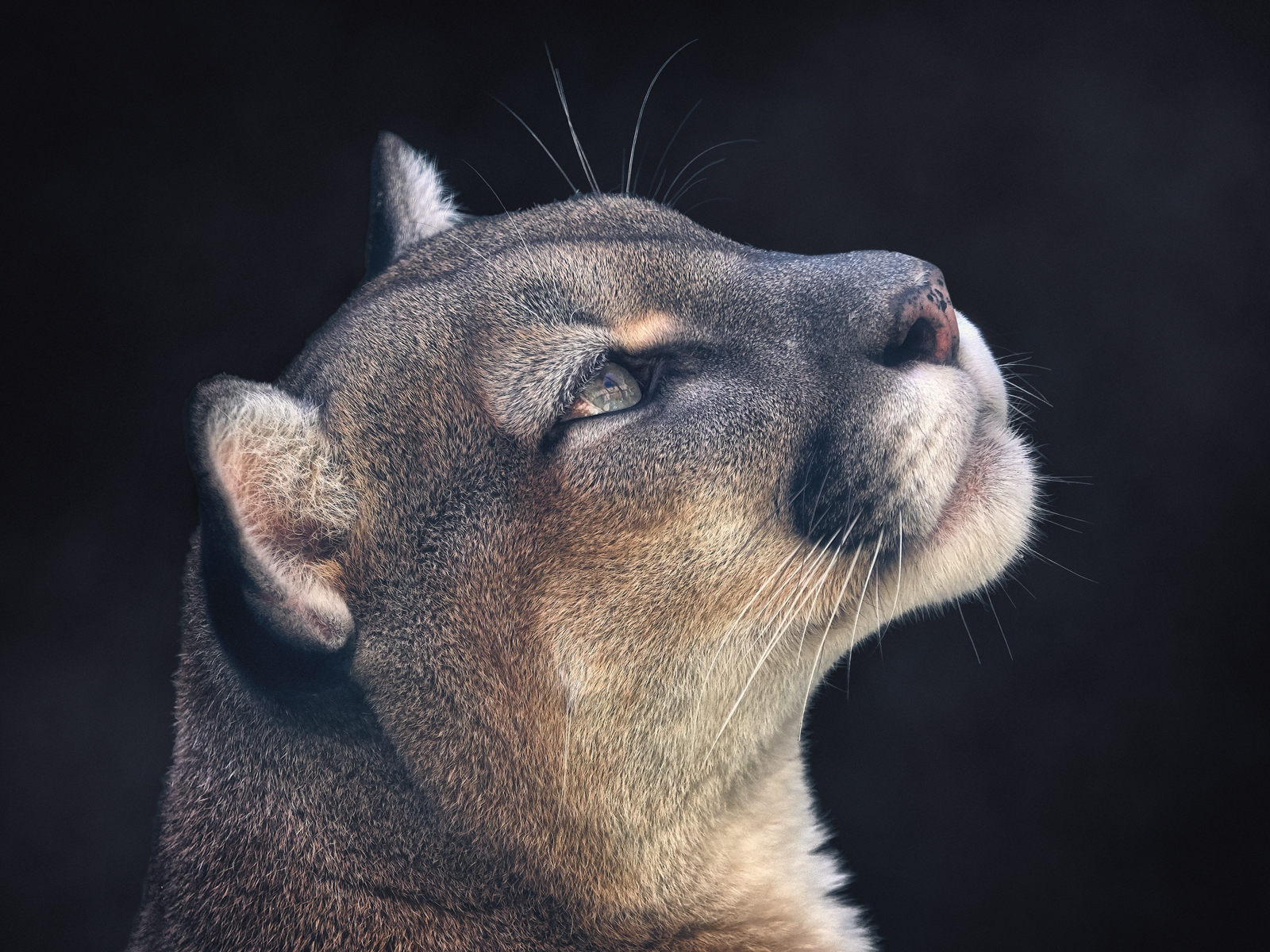 Portrait of a Puma
