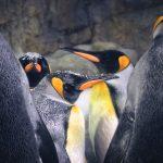 Emperor Penguins of Kaiyukan Osaka Japan