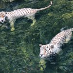 White Tigers swimming