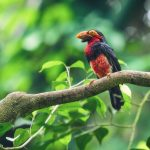 Bearded Barbet Bird