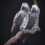 A Pair of Grey Parrots