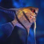 Closeup of an Angelfish