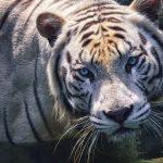 Closeup of a White Tiger