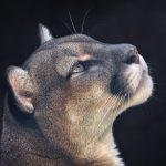 Portrait of a Puma