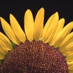 Macro of a Sunflower