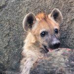 A Hyena Cub