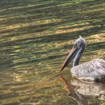 A Pelican Swimming in the Lake
