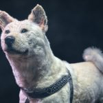 Hachiko at the National Museum of Nature and Science Tokyo