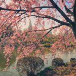 Cherry Blossoms at Shinjuku Gyoen National Garden Tokyo Japan