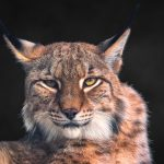 Closeup of a Lynx